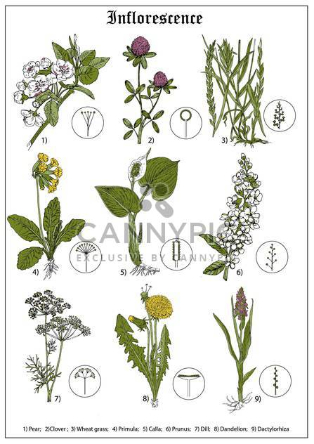 Satz von Birne, Klee, Weizen Gras floral illustration - Kostenloses vector #135056